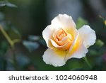 blooming yellow white rose | Shutterstock . vector #1024060948