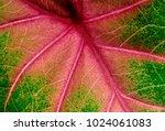 caladium leaf  elephant ear ... | Shutterstock . vector #1024061083
