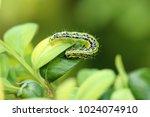 box tree moth | Shutterstock . vector #1024074910