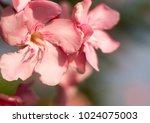 close up pink flowers ... | Shutterstock . vector #1024075003