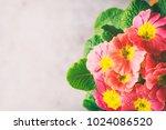 Orange Primrose  Primula...