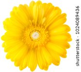 yellow gerbera flower isolated... | Shutterstock . vector #1024089436