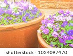 viola tricolor flowers in the... | Shutterstock . vector #1024097470