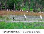 huge flock of great white...   Shutterstock . vector #1024114708
