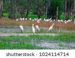 huge flock of great white...   Shutterstock . vector #1024114714