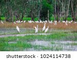 huge flock of great white...   Shutterstock . vector #1024114738