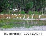 huge flock of great white...   Shutterstock . vector #1024114744
