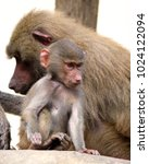 family of hamadryas baboons in... | Shutterstock . vector #1024122094