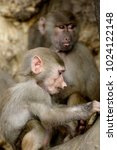 family of hamadryas baboons in... | Shutterstock . vector #1024122148
