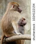 family of hamadryas baboons in... | Shutterstock . vector #1024122154