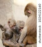 family of hamadryas baboons in... | Shutterstock . vector #1024122160