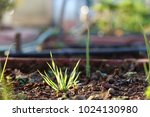 wheat seed with fresh soil. | Shutterstock . vector #1024130980