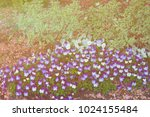colorful pansies located in... | Shutterstock . vector #1024155484