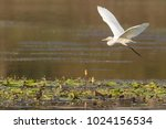 great egret in flight at a lake ...   Shutterstock . vector #1024156534