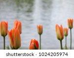pink tulip flowerbed | Shutterstock . vector #1024205974