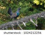 tetrao urogallus in wild nature ... | Shutterstock . vector #1024212256