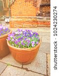 viola tricolor flowers in the... | Shutterstock . vector #1024230274