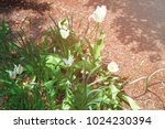 white tulips were photographed... | Shutterstock . vector #1024230394