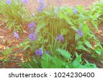 flowerbed with blue flowers... | Shutterstock . vector #1024230400