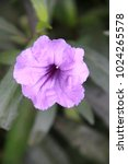 Small photo of Beautiful of purple Rubella tuberosa flower on leaves green background.. In the flower garden.
