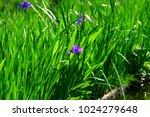 rabbitear iris  kakitsubata ...   Shutterstock . vector #1024279648
