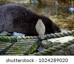 robin on a bridge watching as... | Shutterstock . vector #1024289020