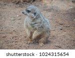 small carnivore mammal animal...   Shutterstock . vector #1024315654