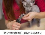 hairless sphinx cat with... | Shutterstock . vector #1024326550