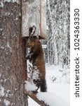 Small photo of wild Siberian sable, a species of marten valued for its luxurious expensive fur, caught in a humane instant-kill conibear trap in taiga forest, the native land of the Khanty people