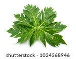 Papaya Leaf On White Background.