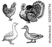 set of hand drawn farm birds.... | Shutterstock .eps vector #1024380796