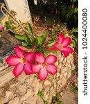 Small photo of Beautiful Adenium in the garden.