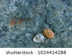 fossil shells on the rock  sea... | Shutterstock . vector #1024414288