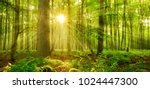 Sunbeams Shining through Natural Forest of Beech Trees, Ferns covering the Ground - stock photo