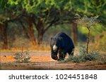 sloth bear  melursus ursinus ...