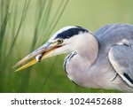 close up of a grey heron with a ... | Shutterstock . vector #1024452688