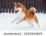 Red Shiba Inu Dog Playing In...