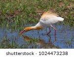 eastern cattle egret  bubulcus...   Shutterstock . vector #1024473238