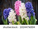 pastel hyacinth flowers... | Shutterstock . vector #1024476004