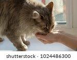 feeding grey furry cat from...   Shutterstock . vector #1024486300