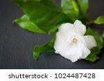 Small photo of Gardenia jasmine on stone background