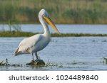 dalmatian pelican  pelecanus... | Shutterstock . vector #1024489840