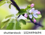 flowers of an apple tree in... | Shutterstock . vector #1024494694