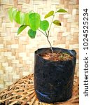 Small photo of Dalbergia Cochinchinensis (Fabaceae Magnoliophyta) Young Plant in Black Plastic Bag