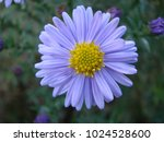 purple flowers of italian... | Shutterstock . vector #1024528600