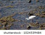 little egret  egretta garzetta  ...   Shutterstock . vector #1024539484