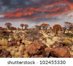 Quiver Tree In Namibia  Africa