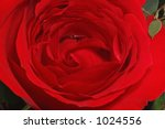 Large Blooming Red Rose Close-Up - stock photo