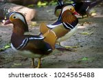 Duck Mandarin Two Males On A...