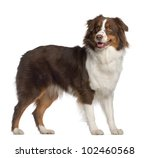 Stock photo portrait of australian shepherd year old standing in front of white background 102460568
